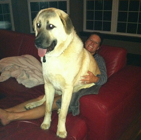 once a lap dog always a lap dog 19 pictures 13