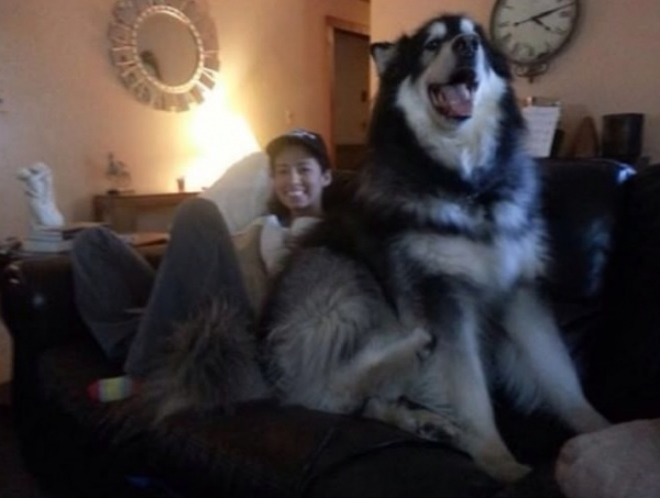 once a lap dog always a lap dog 19 pictures 3