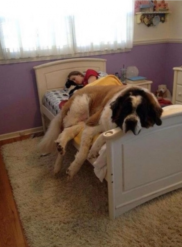 once a lap dog always a lap dog 19 pictures 8