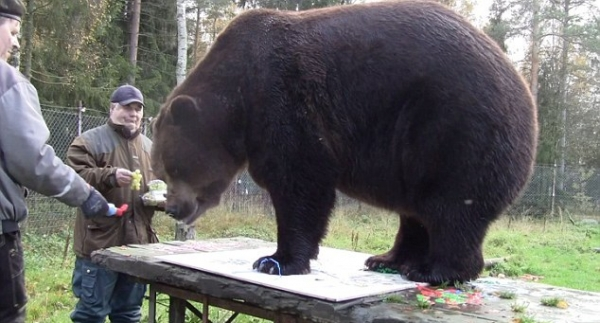orphaned and amazingly talented animal painter juuso the bear 17 pictures 11