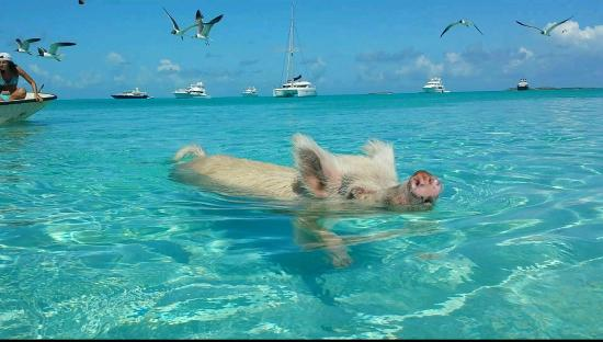 pigs cant fly but can certainly swim on this island 9 pictures video 10