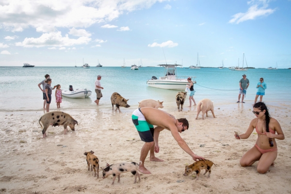 pigs cant fly but can certainly swim on this island 9 pictures video 2