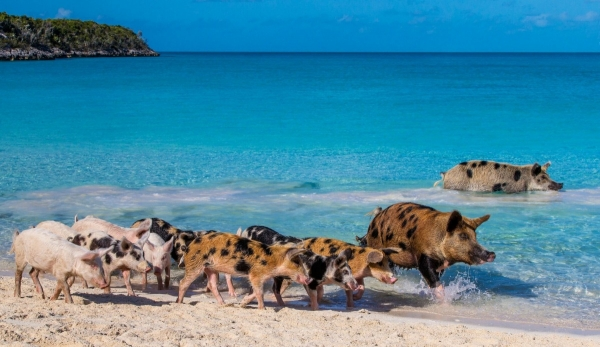 pigs cant fly but can certainly swim on this island 9 pictures video 3