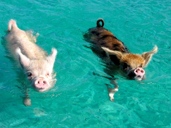 pigs cant fly but can certainly swim on this island 9 pictures video 5