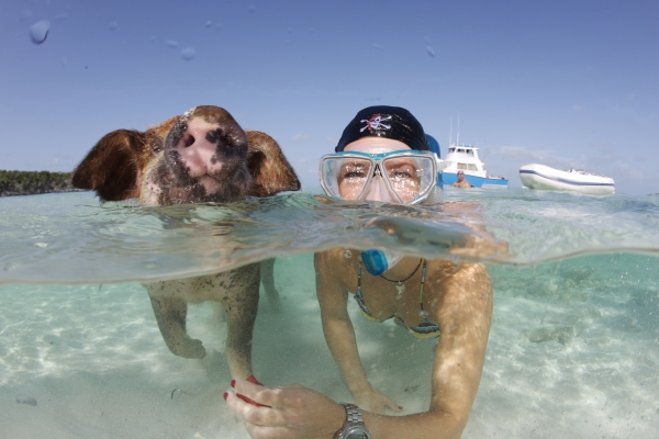 pigs cant fly but can certainly swim on this island 9 pictures video 7