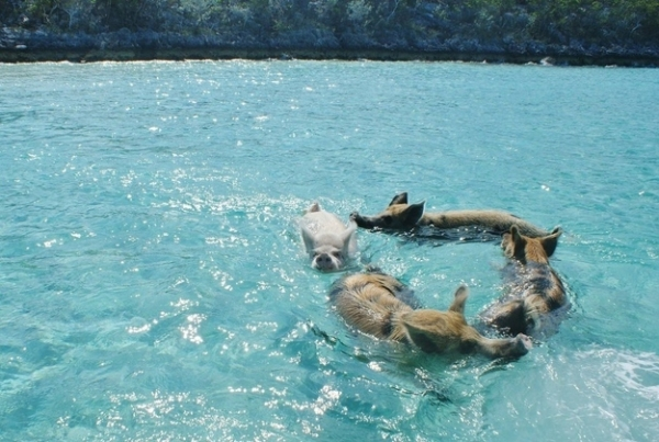 pigs cant fly but can certainly swim on this island 9 pictures video 8