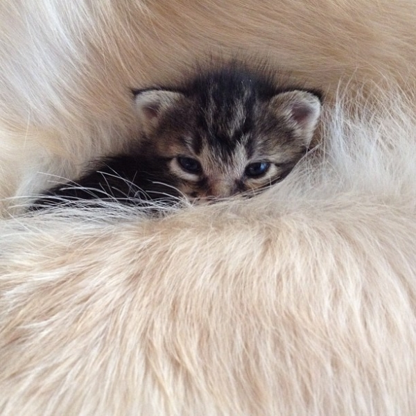 ponzu the father of kittens 11 pics 1
