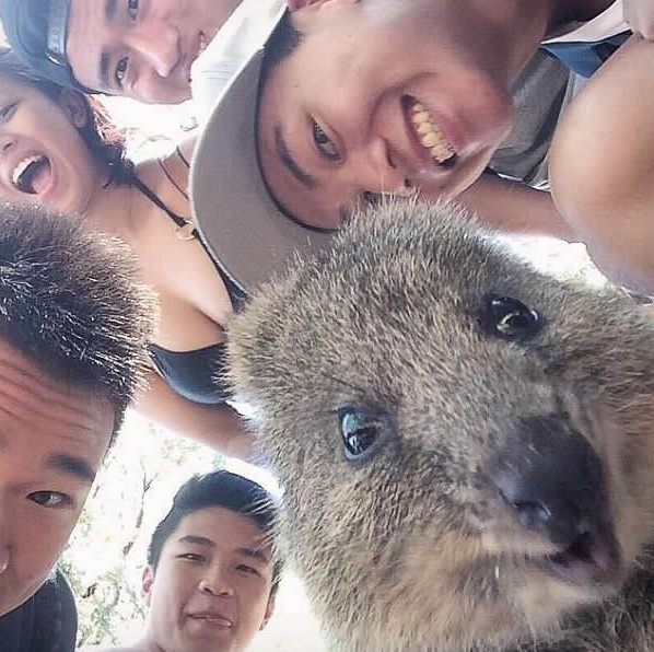 quokka selfies are definitely the most adorable new trend in australia 15 pics 10