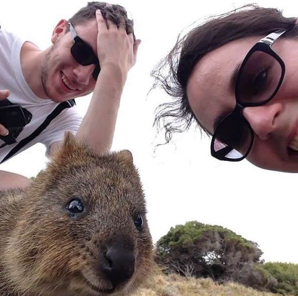 quokka selfies are definitely the most adorable new trend in australia 15 pics 13