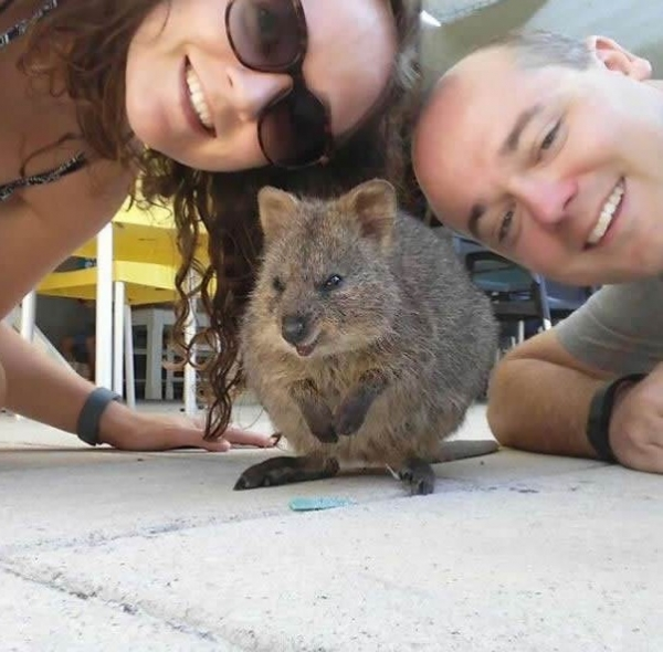 quokka selfies are definitely the most adorable new trend in australia 15 pics 5