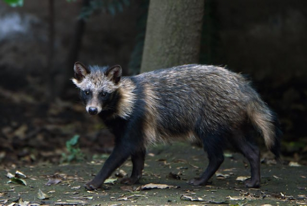 raccoon dog  racoon dog tanuki is a bit of both 11 pictures 1