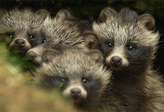 raccoon dog  racoon dog tanuki is a bit of both 11 pictures 10