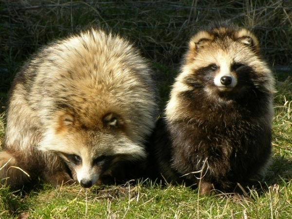raccoon dog  racoon dog tanuki is a bit of both 11 pictures 11