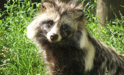 raccoon dog  racoon dog tanuki is a bit of both 11 pictures 12