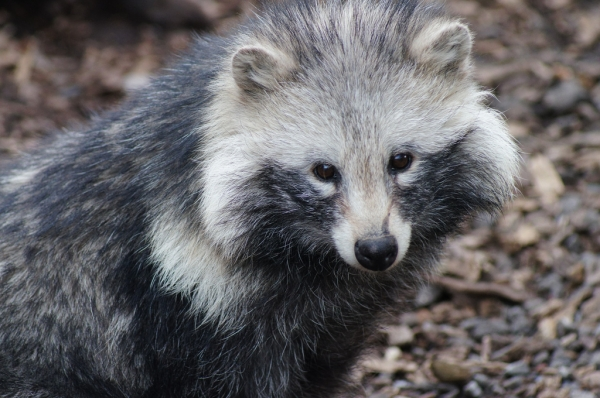 raccoon dog  racoon dog tanuki is a bit of both 11 pictures 2