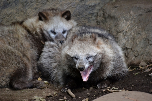 raccoon dog  racoon dog tanuki is a bit of both 11 pictures 4