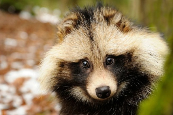 raccoon dog  racoon dog tanuki is a bit of both 11 pictures 6