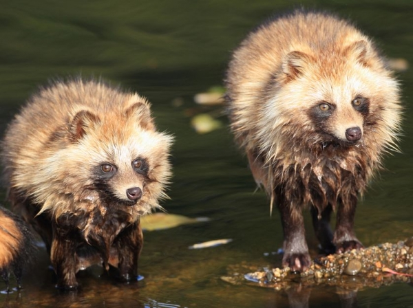 raccoon dog  racoon dog tanuki is a bit of both 11 pictures 7