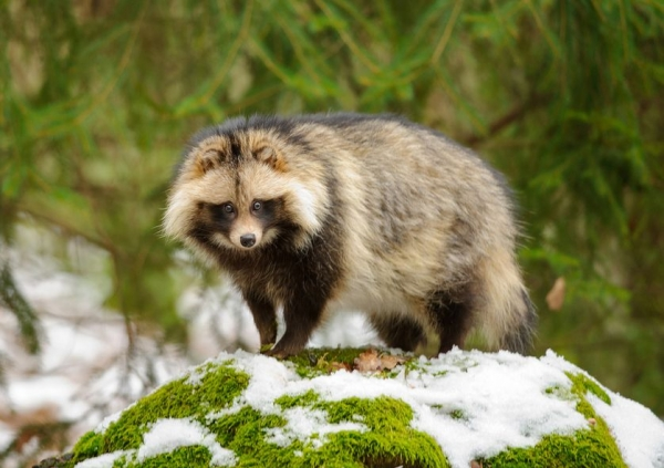 raccoon dog  racoon dog tanuki is a bit of both 11 pictures 9
