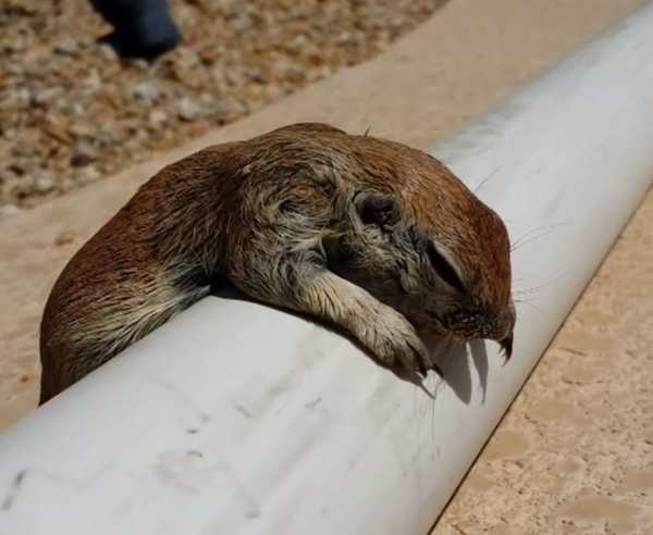 selfless pool guy saves drowning squirrel through cpr 8 pics 1 video 4