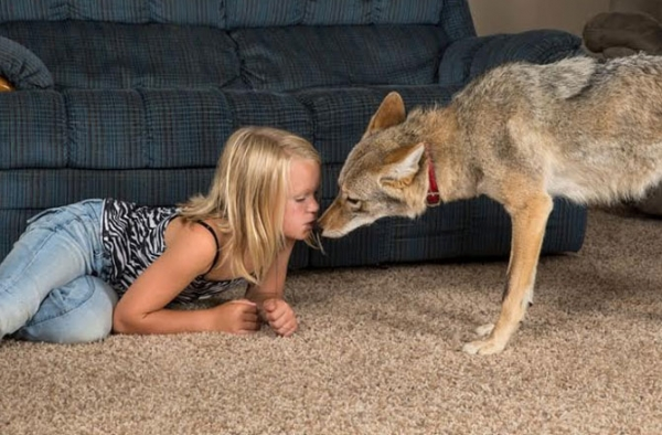 sharing bed with a coyote 10