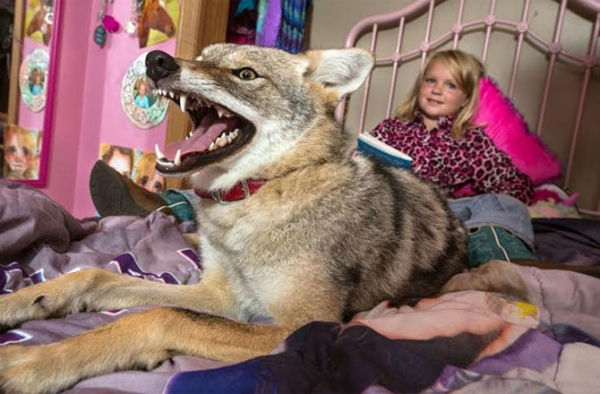 sharing bed with a coyote 9