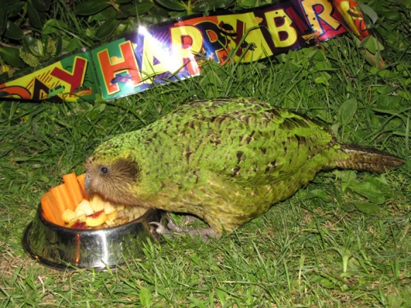 sirocco the kakapo is a parrot superstar 5 pics 4 videos 1