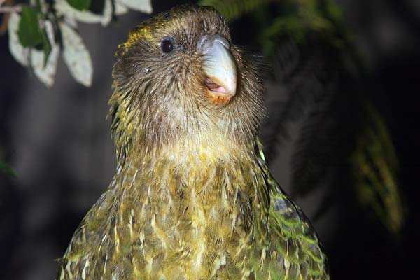 sirocco the kakapo is a parrot superstar 5 pics 4 videos 3