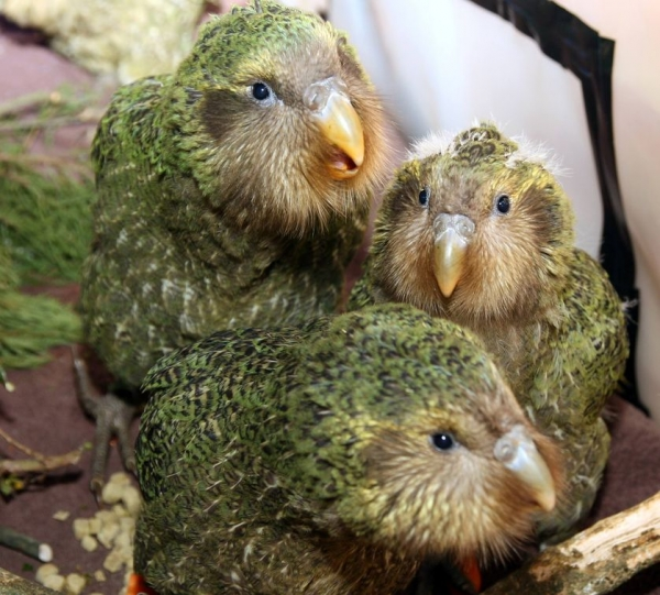 sirocco the kakapo is a parrot superstar 5 pics 4 videos 5
