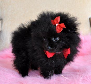 smallest and definitely cuddliest dogs teacup pomeranians 10 pics 1 video 1