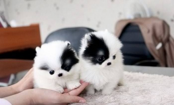 smallest and definitely cuddliest dogs teacup pomeranians 10 pics 1 video 10