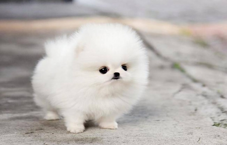 smallest and definitely cuddliest dogs teacup pomeranians 10 pics 1 video 2