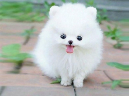 smallest and definitely cuddliest dogs teacup pomeranians 10 pics 1 video 3