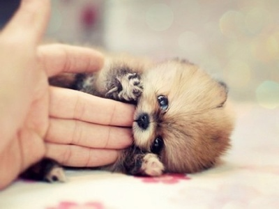 smallest and definitely cuddliest dogs teacup pomeranians 10 pics 1 video 4