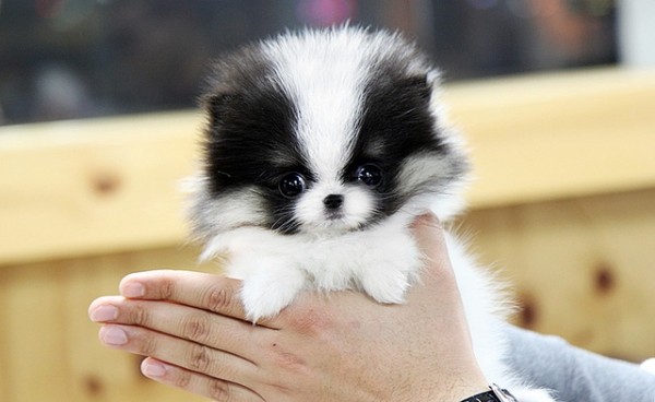smallest and definitely cuddliest dogs teacup pomeranians 10 pics 1 video 5