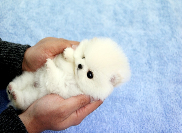 smallest and definitely cuddliest dogs teacup pomeranians 10 pics 1 video 6