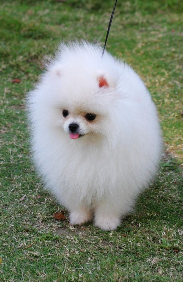 smallest and definitely cuddliest dogs teacup pomeranians 10 pics 1 video 7