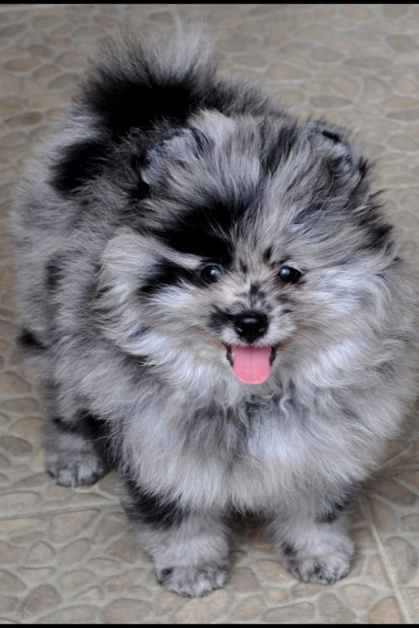 smallest and definitely cuddliest dogs teacup pomeranians 10 pics 1 video 8