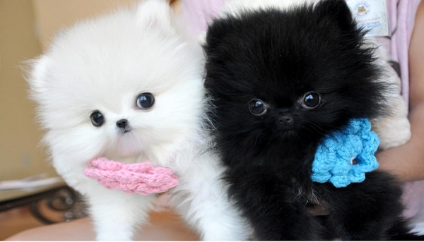 smallest and definitely cuddliest dogs teacup pomeranians 10 pics 1 video 9