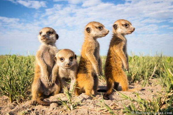 story of will and the meerkats 9