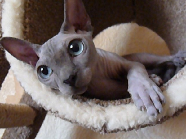 sweet and unique sphynx cats like to play 11