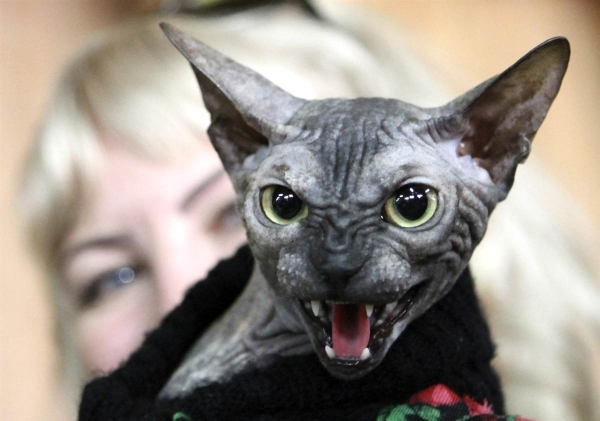 sweet and unique sphynx cats like to play 14