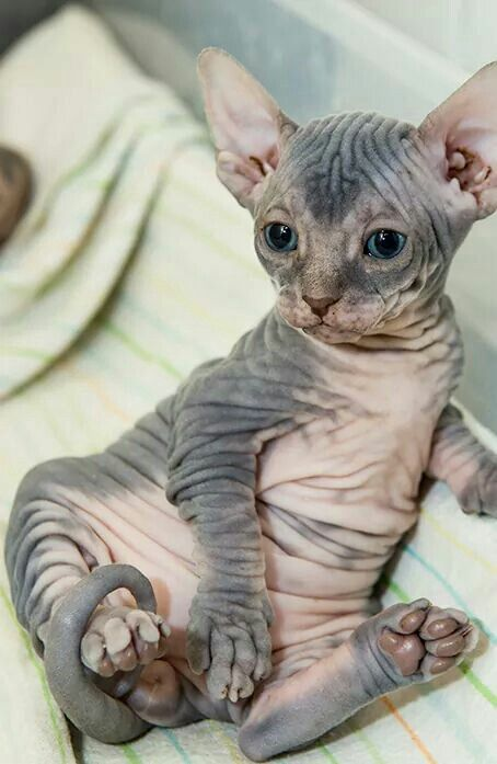 sweet and unique sphynx cats like to play 6