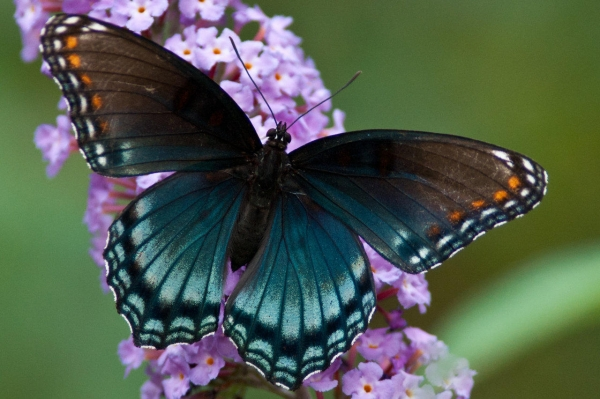 the breathtaking colors of the most beautiful butterflies  17 pictures 12