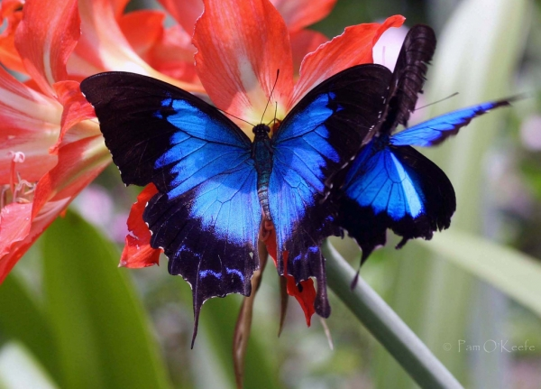 the breathtaking colors of the most beautiful butterflies  17 pictures 2
