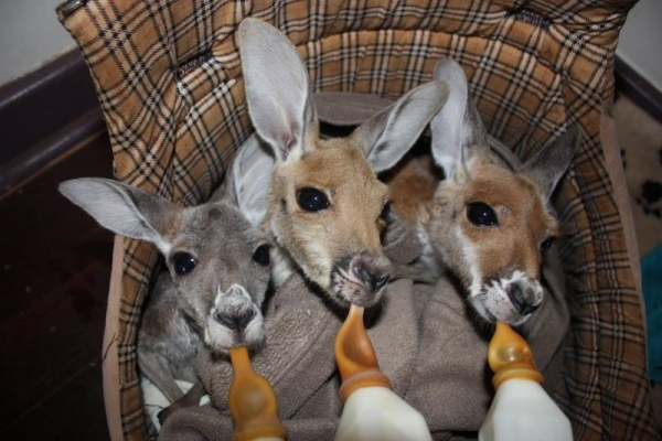 the kangaroo sanctuary that will restore your faith in humanity 12 pics 1