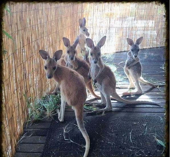 the kangaroo sanctuary that will restore your faith in humanity 12 pics 5