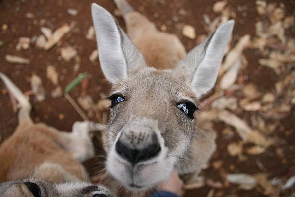 the kangaroo sanctuary that will restore your faith in humanity 12 pics 8