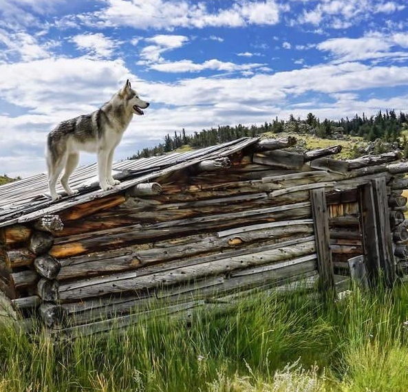 the most adventurous wolfdog loki 21 pictures 13