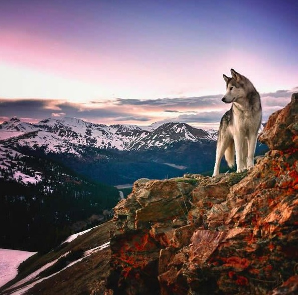 the most adventurous wolfdog loki 21 pictures 15